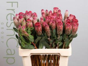 Protea Mundii Pink