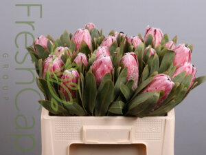 Protea Pink Lady