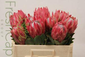 FreshCap Protea Red Rex
