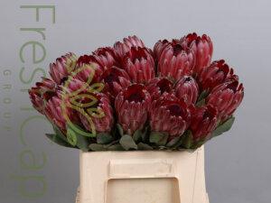 FreshCap Protea Sharonet