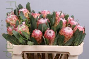 FreshCap Protea Susara