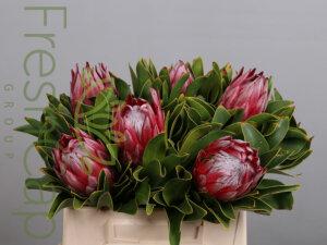Protea Clare