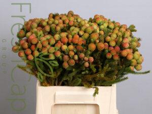 Ruby Berzelia grower, exporter & producer