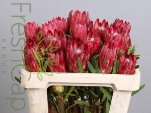 FreshCap Protea Repens Red