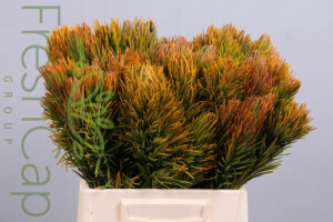 Retzia Capensis grower, exporter & producer