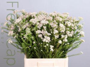 Rice Flower grower, exporter & producer