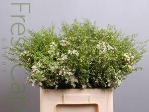 Atar Waxflowers grower, exporter & producer
