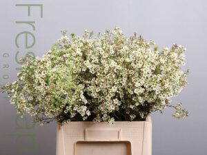 Chrystal Pearl Waxflowers growers, exporter & producers