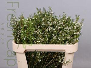 Luna Waxflowers grower, exporter & producer