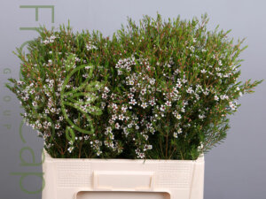 Snowflake Waxflowersgrower, exporter & producer