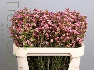Teina's Delight Waxflowersgrower, exporter & producer