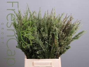 Adenanthos (Woolly Bush) grower, exporter & producer