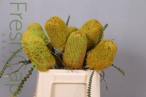 Banksia Speciosa Yellow grower, exporter & producer