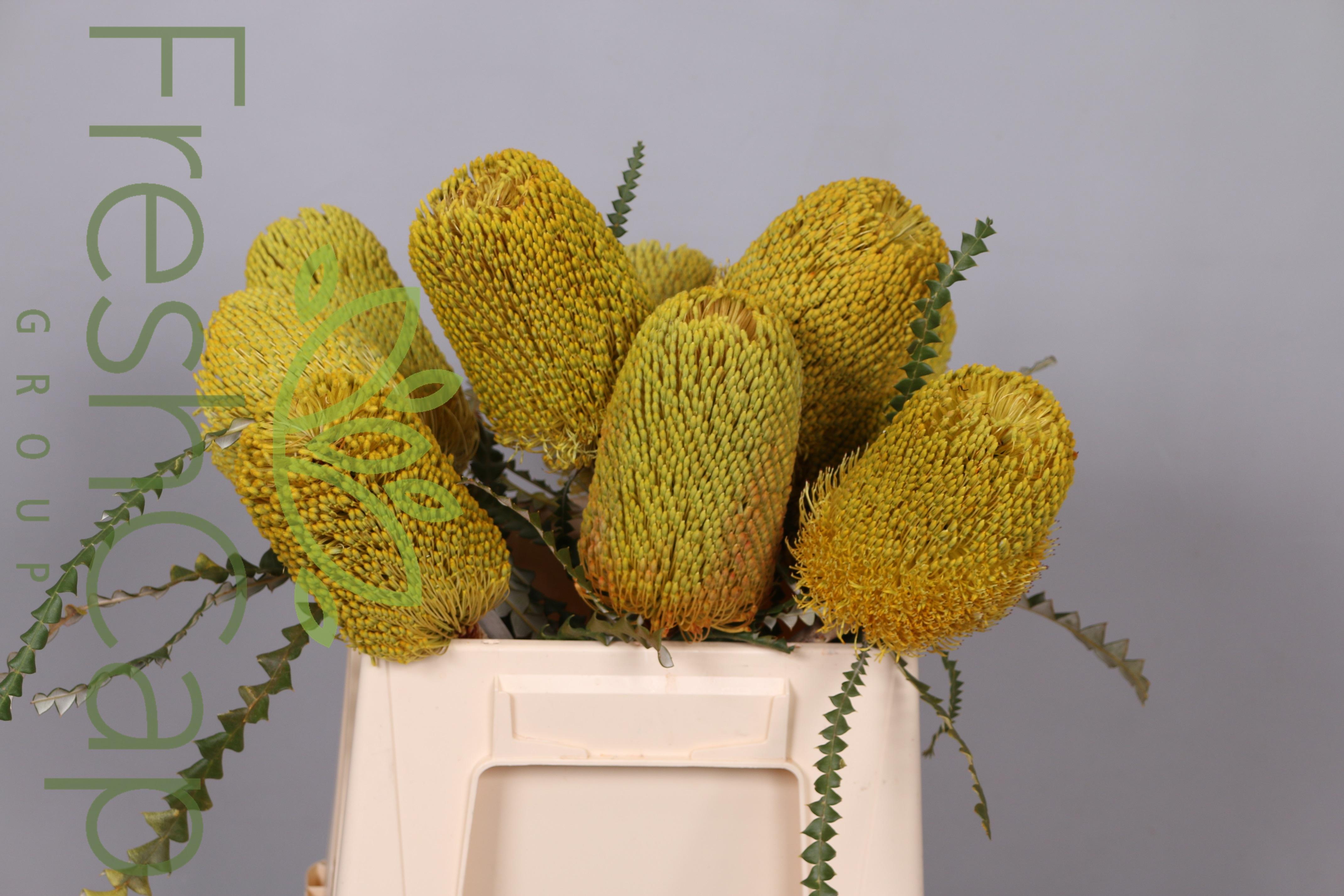 Banksia Speciosa Yellow