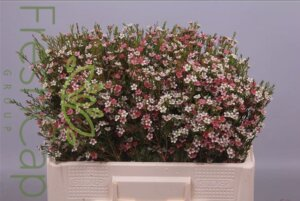 My Sweet 16 Waxflowersgrower, exporter & producer