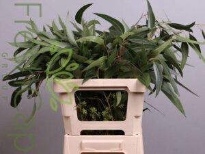 Eucalyptus Berries grower, exporter & producer
