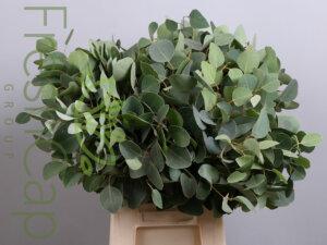 Eucalyptus Populus grower, exporter & producer