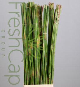 Green Sticks grower, exporter & producer