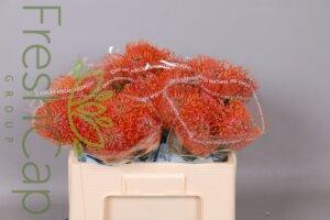Leucospermum Crimson