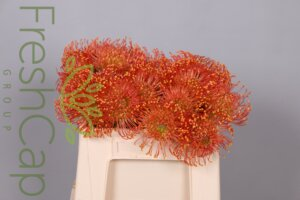 Leucospermum Sun Flame