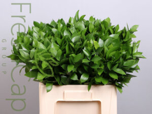 Ruscus grower, exporter & producer