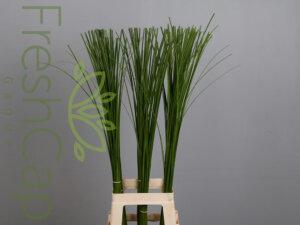 Steppengrass grower, exporter & producer