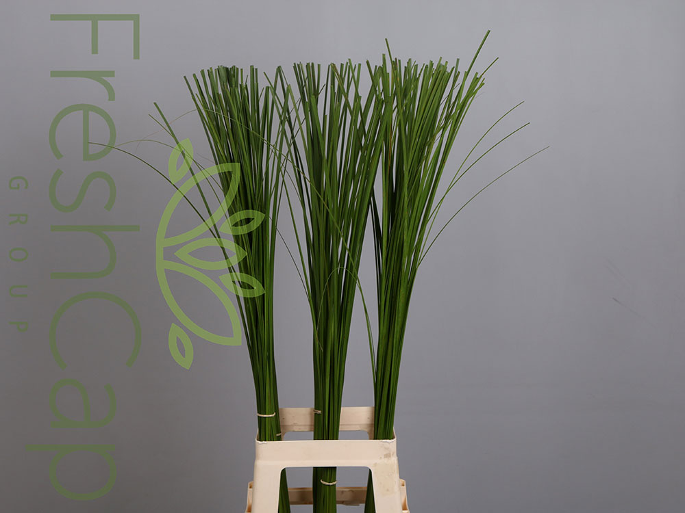 Steppengrass