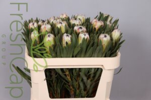 FreshCap Protea White Night