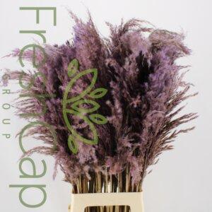Pampas Grass Lavender grower, exporter & producer