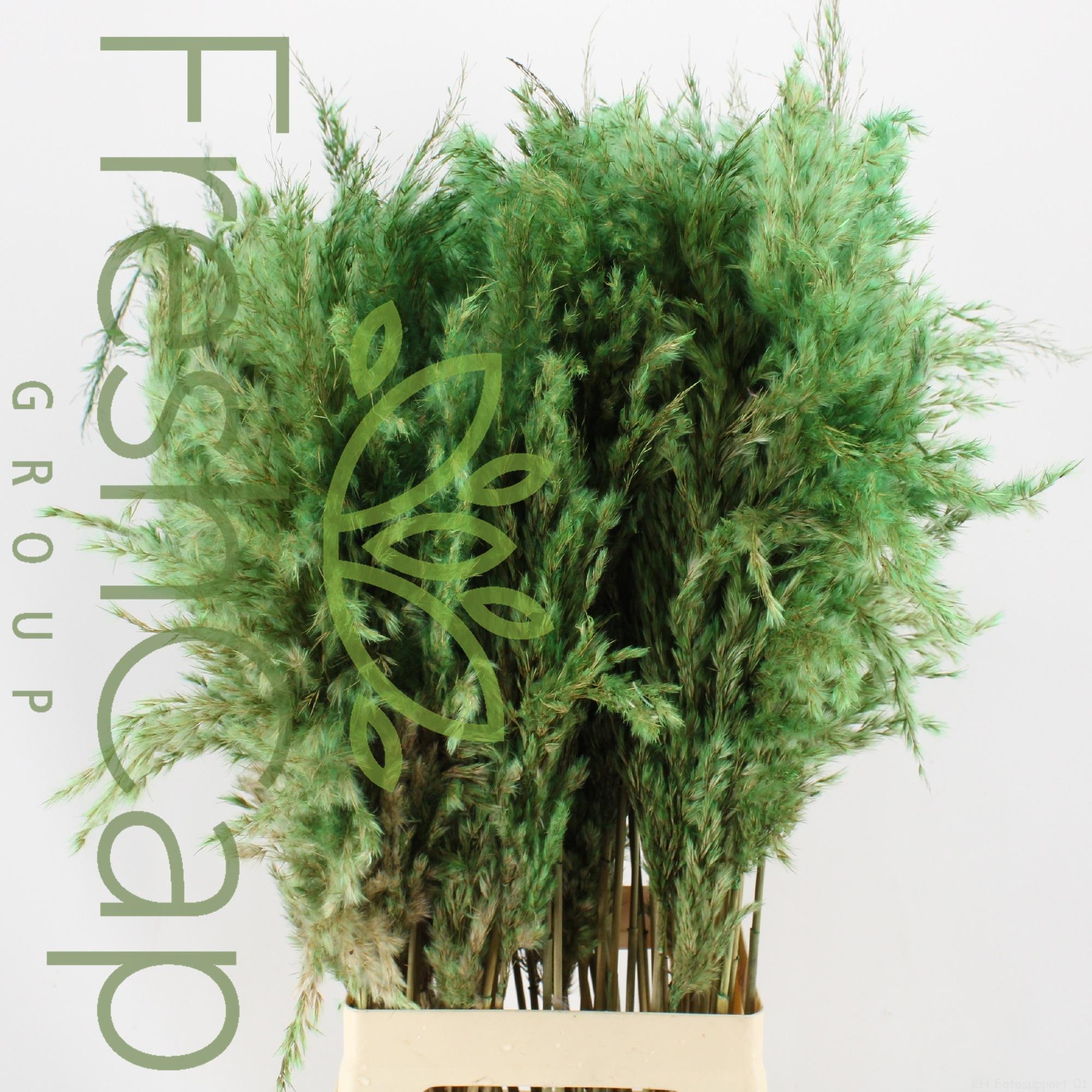 Pampas Grass Light Green