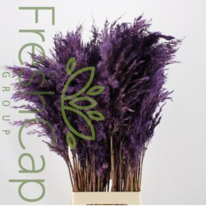 Pampas Grass Purple grower, exporter & producer