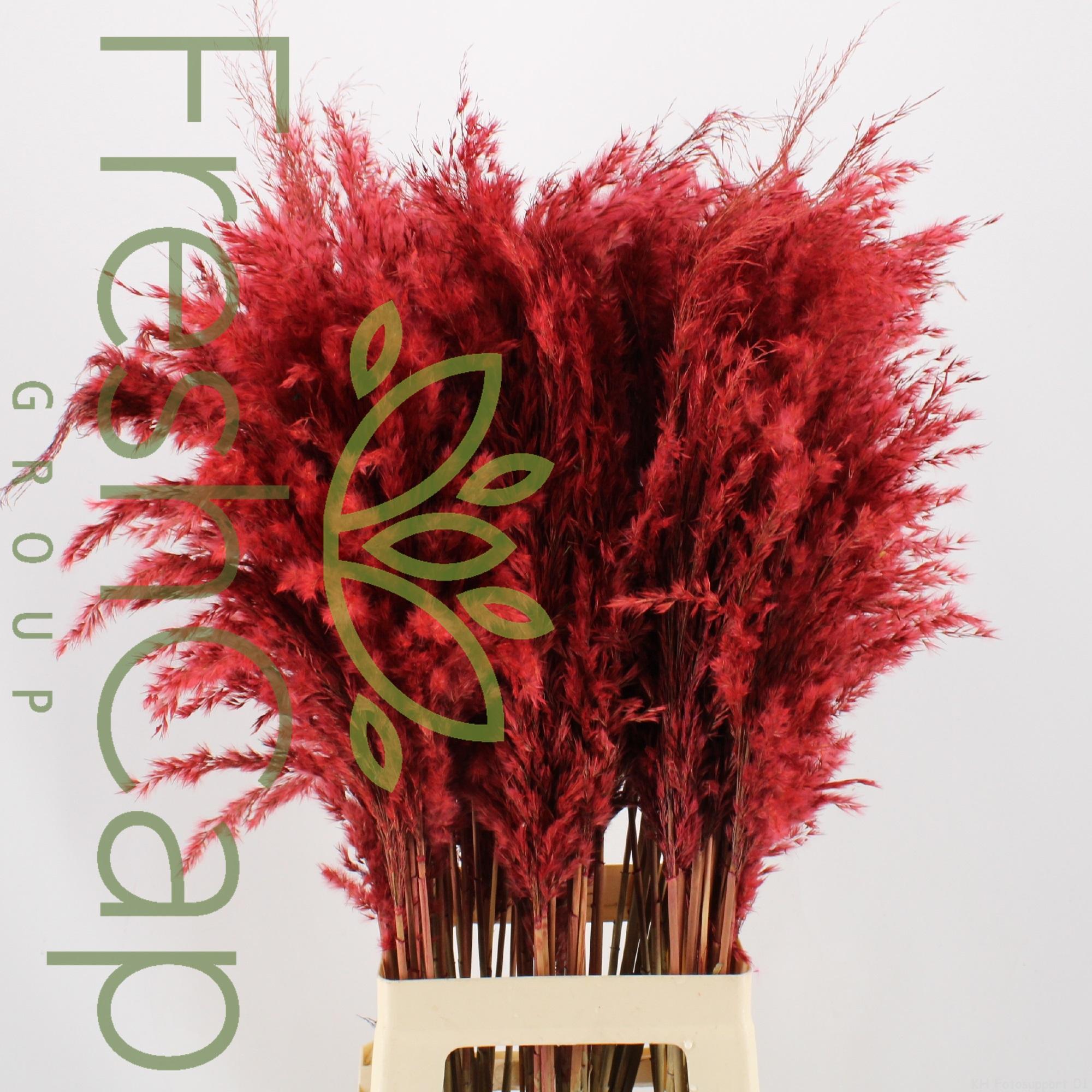 Pampas Grass Red