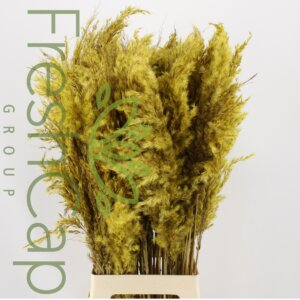 Pampas Grass Yellow grower, exporter & producer