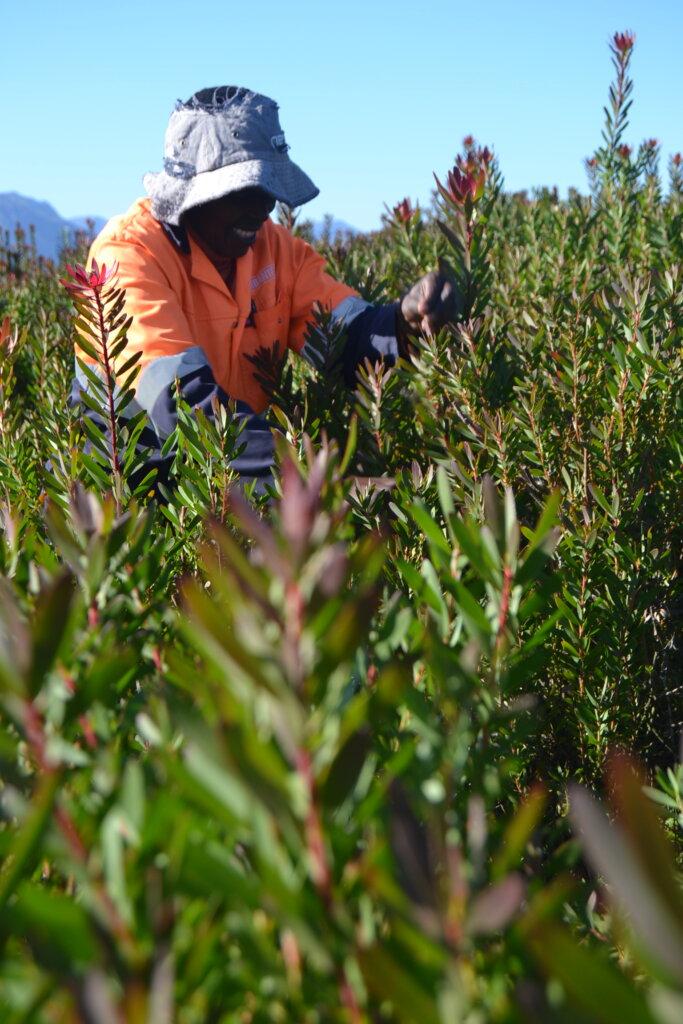 Leucadendron Grower Producer Exporter